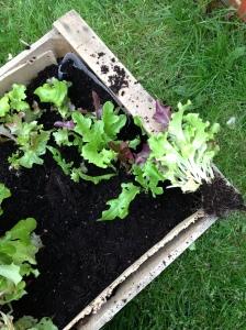 saladbox1
